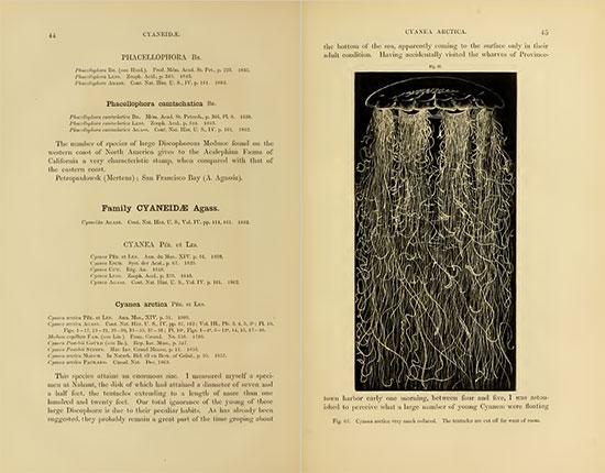 Nonostante universalmente riconosciuta come una specie in grado di raggiungere incredibili dimensioni, l'unica misurazione in letteratura di una medusa criniera di leone risale al 1856 per opera del naturalista Agassiz.