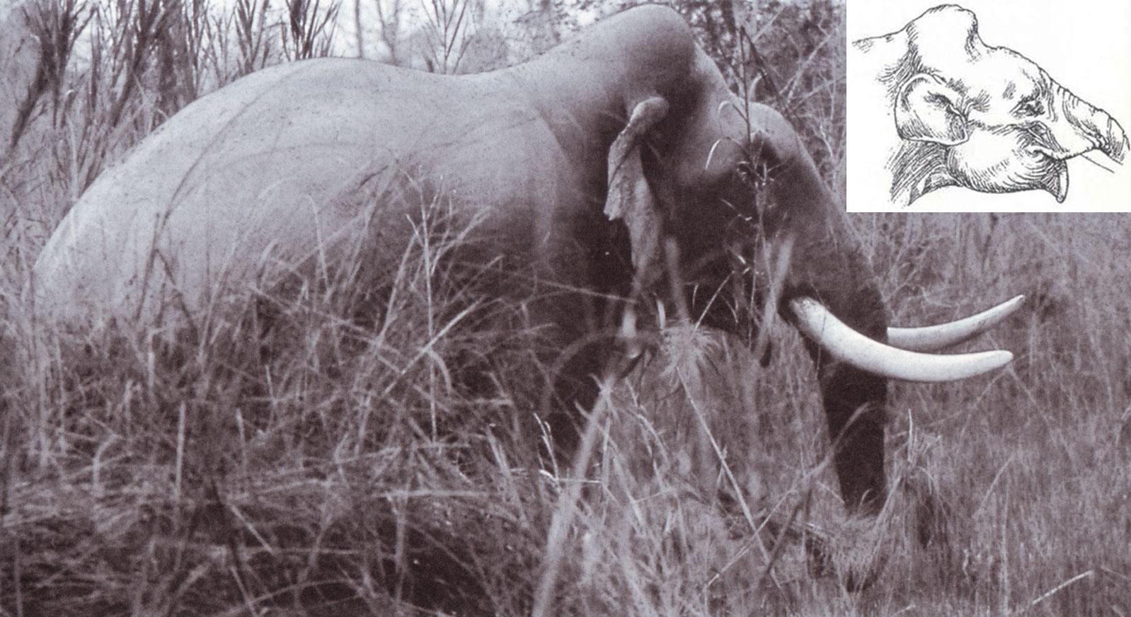 Fig. 3 - Un elefante di Bardia con la curiosa conformazione del cranio a cupola, simile a quella dell'antico Elephas hysudricus (ricostruito nel riquadro in alto a destra).