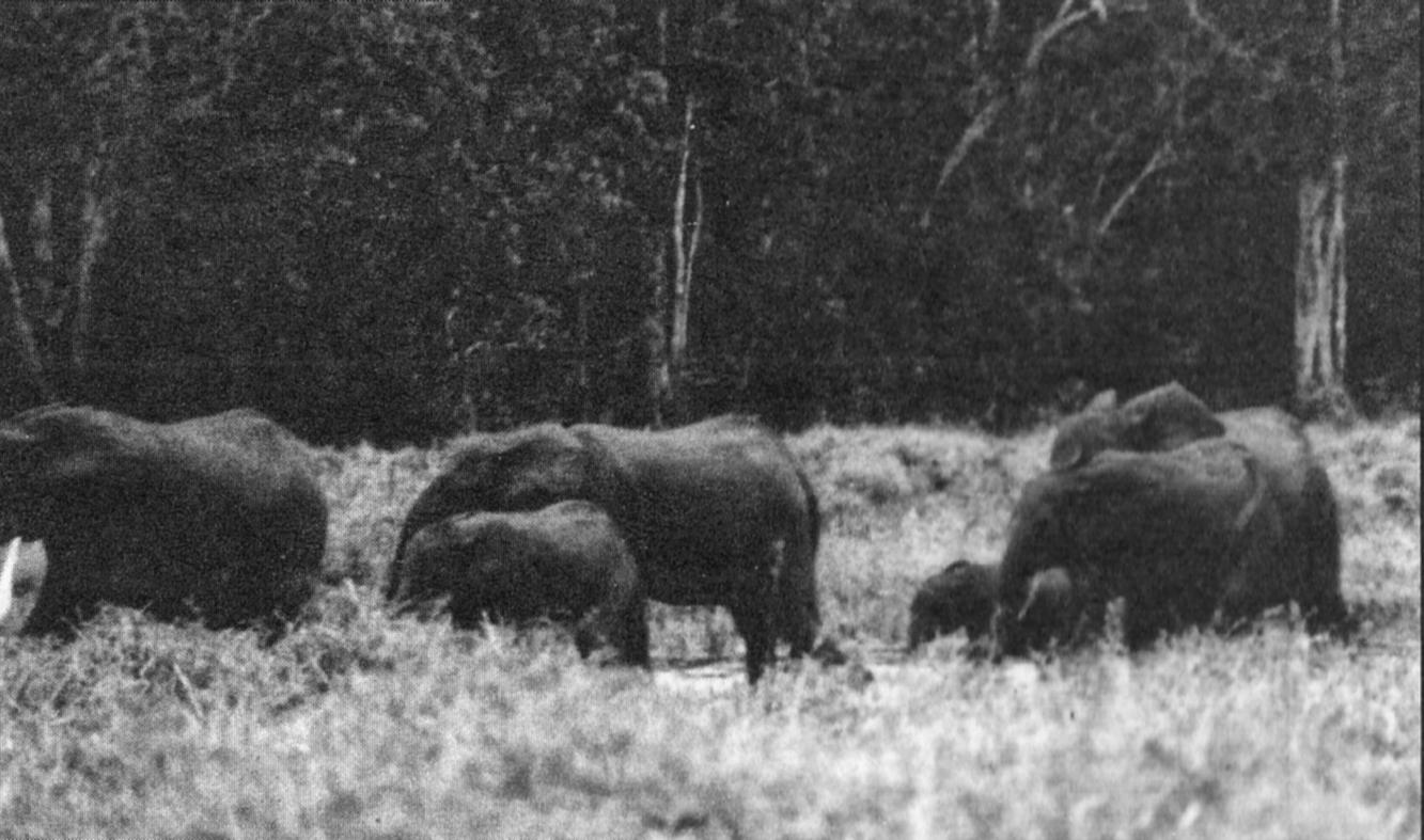 Presunto branco di elefanti pigmei fotografati da Nestroy. L'esemplare adulto che guida il branco sembra essere posto in primo piano rispetto all'airone bianco maggiore