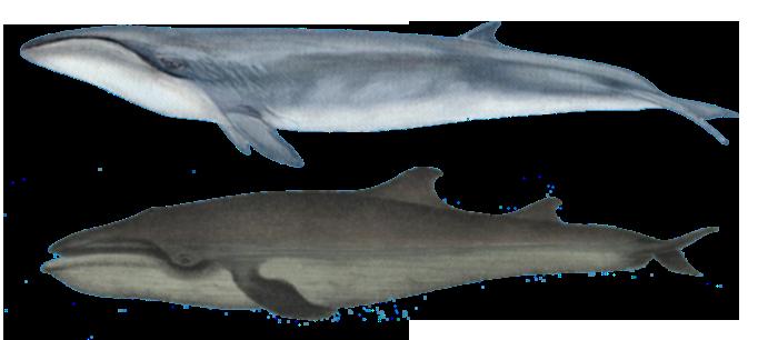 Caperea marginata (in alto) e disegno dell'Amphiptera pacifica realizzato da Giglioli (in basso). I disegni non sono in scala.