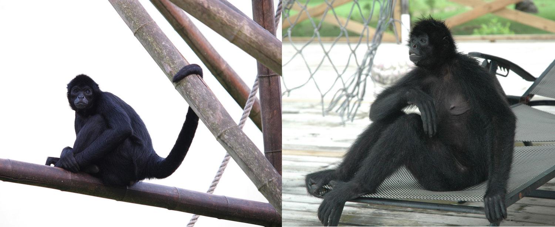 Le scimmie ragno possiedono una lunghissima coda, ma quando quest'ultima non appare in fotografia, il loro aspetto antropomorfo diventa molto più accentuato
