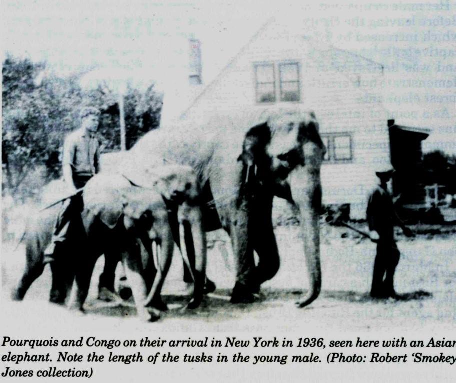 Questa è l'unica foto di 'Congo', l'esemplare nel mezzo, di cui sono a conoscenza (da Cousins, 1995)
