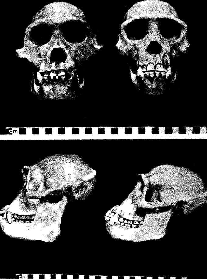 Vista frontale e laterale del cranio di Kooloo-kamba (sx) e di scimpanzè (Pan troglodytes) (dx), da Shea 1984. Le differenze morfologiche sono dovute all'estrema variabilità intraspecifca del genere Pan