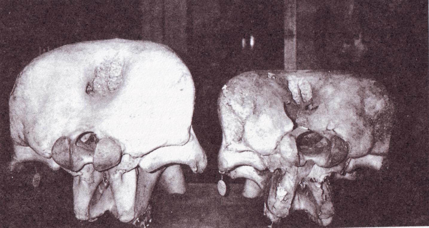 Confronto tra la parte posteriore del cranio di un elefante di foresta (sinistra) e di presunto elefante pigmeo (destra)