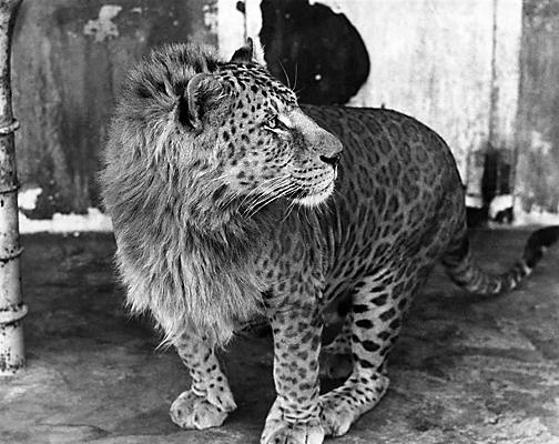 Un leopone: un ibrido tra un leopardo e una leonessa.