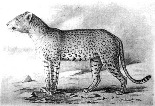 """Illustrazione d'epoca del """"leone maculato del Congo"""""""