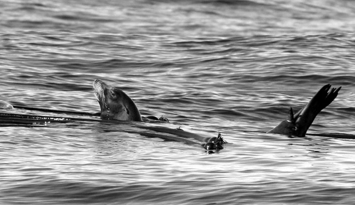 Un callorino nuota in prossimità di un kelp (Foto John Sterling).