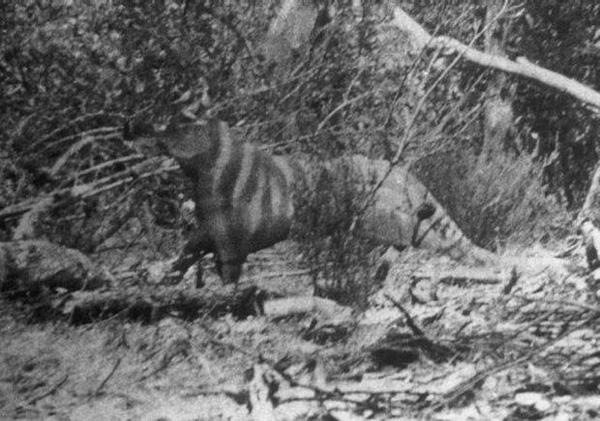 Foto della tigre di Ozenkadnook, 1964, attribuita a Rilla Martin
