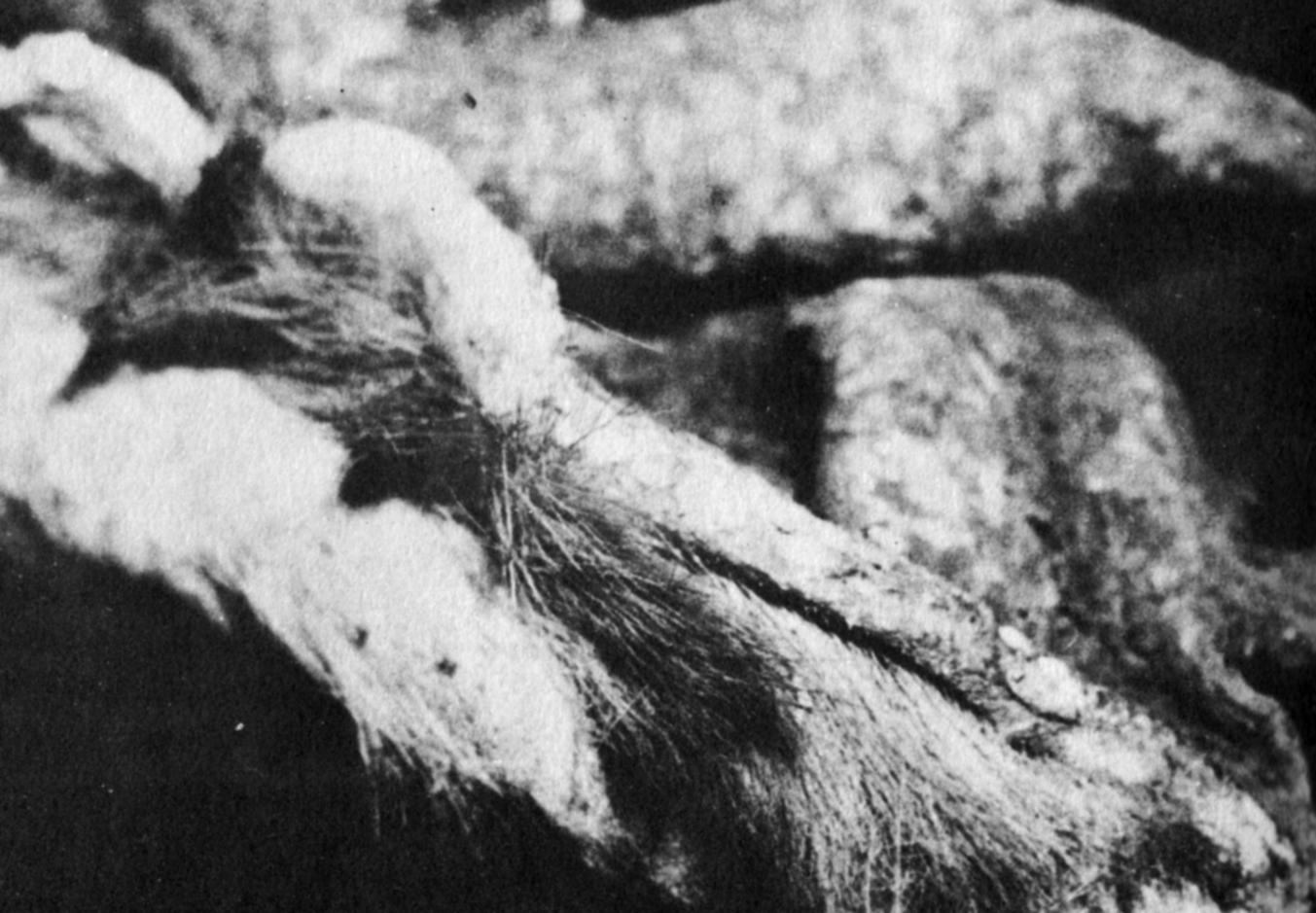 """La """"pelle di Ultima Esperanza"""" accese le fantasie degli zoologi più romantici."""