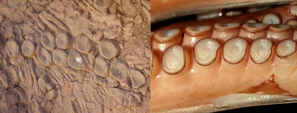 I dischi vertebrali (sinistra) che secondo McMenamin seguirebbero la disposizione delle ventose del tentacolo di un cefalopode (destra).