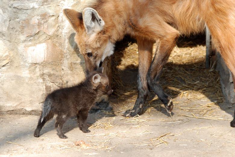 Le diverse colorazioni di adulto e cucciolo di crisocione nelle prime settimane di vita.
