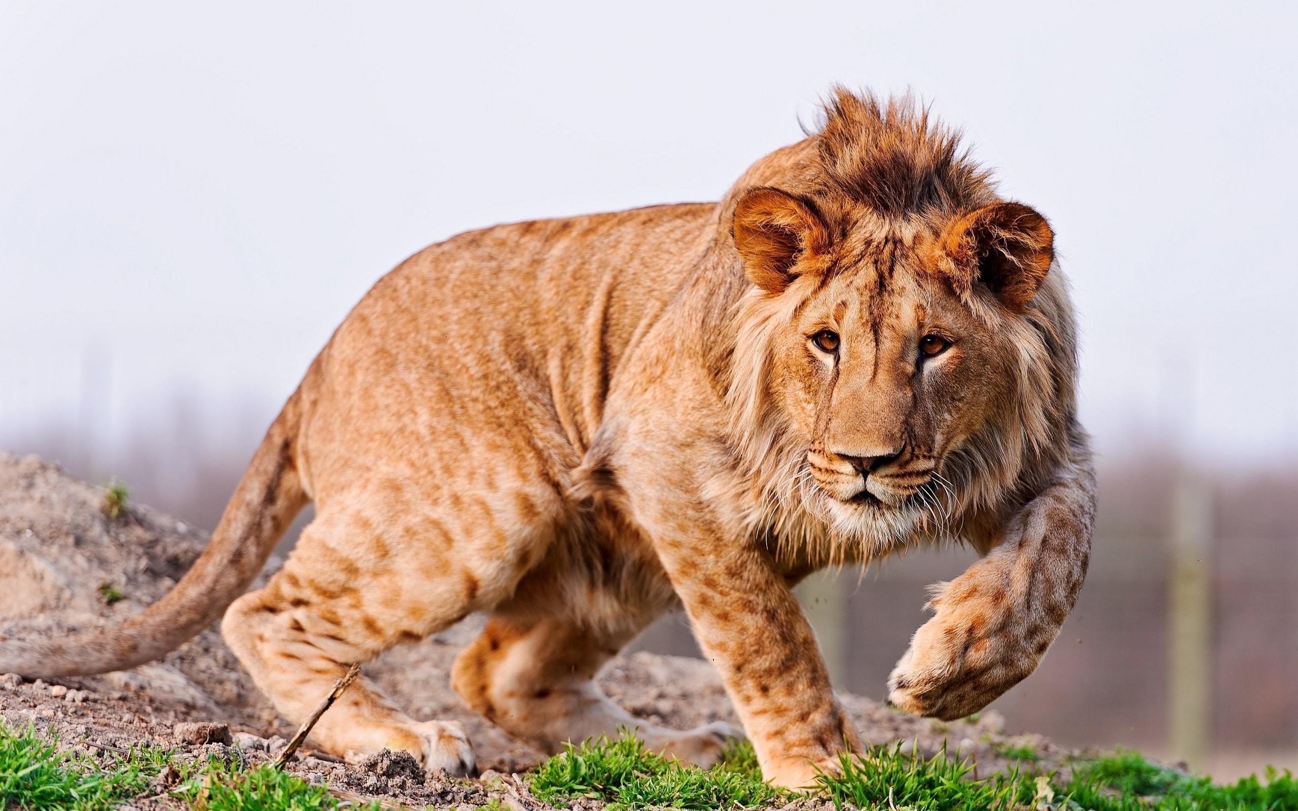 giovane leone maschio che presenta tracce della maculatura tipica dei cuccioli della scpecie