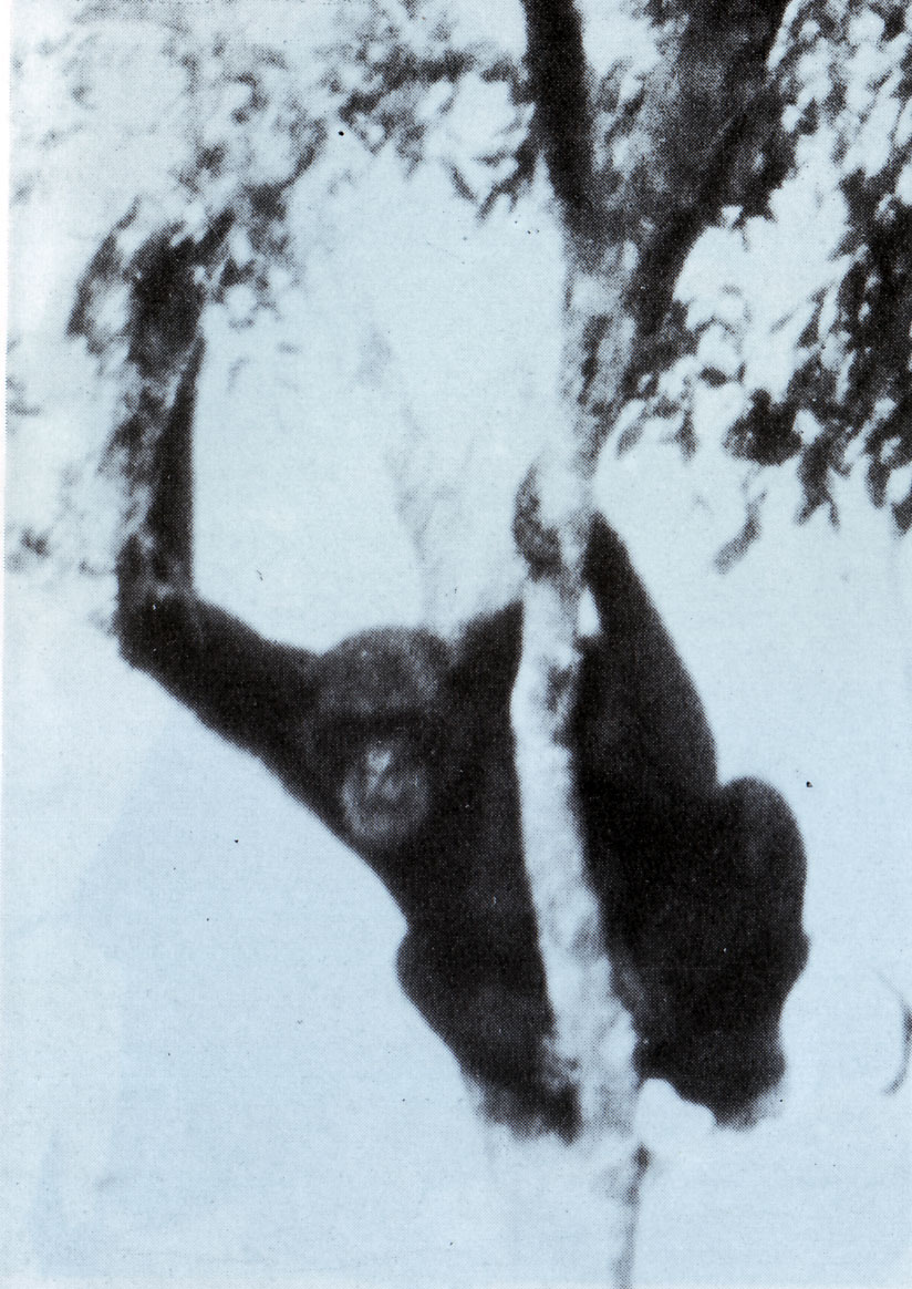 Una rara fotografia di Ufiti, lo scimpanzè dalla provenienza misteriosa (scattata da J. Leonard Goodwin