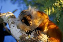 Un esemplare femmina di Eulemur macaco