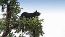 L'orso tibetano è il più diffuso tra gli orsi asiatici