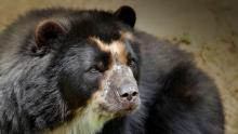 L'orso dagli occhiali, Tremarctos ornatus, è l'unica specie di orso conosciuta nell'America del sud