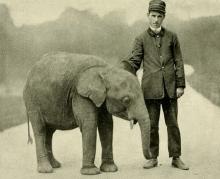 Il tipo di Loxodonta pumilio (Noack, 1906) allo Zoo del Bronx nel 1905 (da Schouteden, 1911)