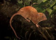 Il vika, il nuovo roditore delle Isole Salomone. Illustrazione di Velizar Simeonovski, The Field Museum