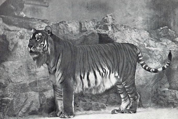 Tigre del Caspio presso lo zoo di Berlino (1899)