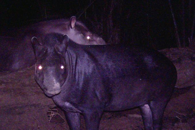 due esemplari di tapiro pigmeo