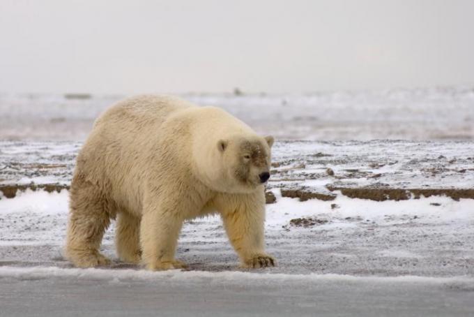 Un presunto ibrido tra grizzly e orso polare fotografato in natura