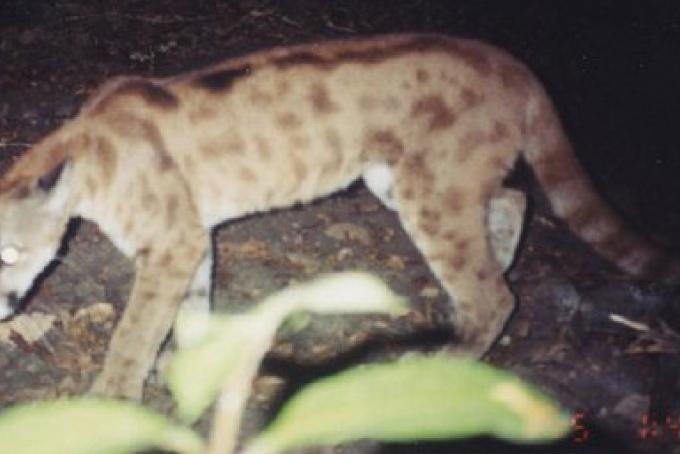 """Puma """"atipico"""" fotografato in Belize nel 2002"""