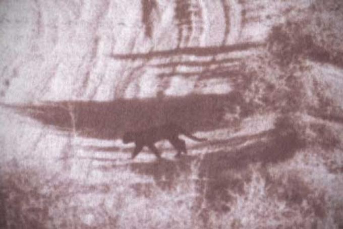"""Il """"puma"""" nero fotografato nel 1992"""