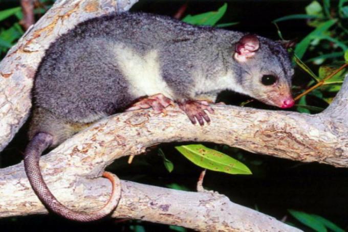opossum dalla coda a scaglie (Wyulda squamicaudata)